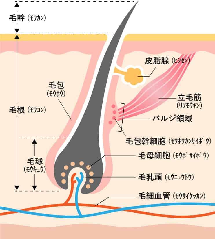 皮膚と毛の構造